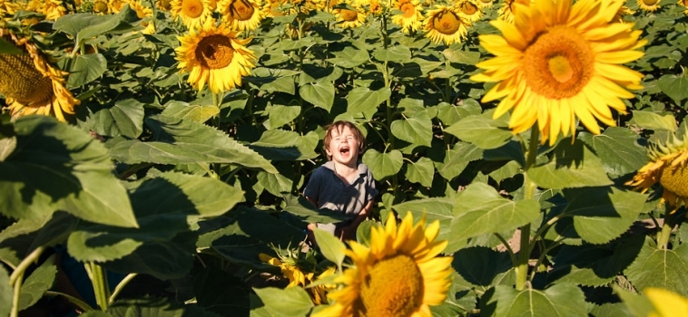 My little boy in the sunflowers